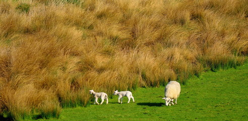 Wall Mural - Young lamb graze on a farmland in spring