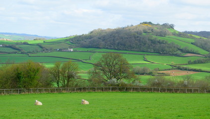 Wall Mural - Sheep graze on a farmland in East Devon AONB (Area of Outstanding Natural Beauty)