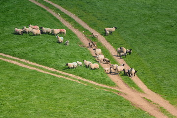 Wall Mural - Flock of sheep herding on a farmland in Blackdown Hill, East Devon, England