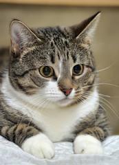 CLOSE-UP OF EUROPEAN SHORTHAIR CAT