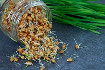 Germinated wheat grains
