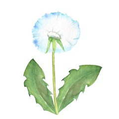 Dandelion, watercolor flowe on white background