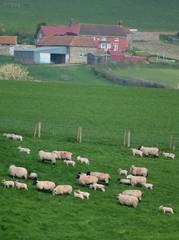 Wall Mural - Flock of sheep herding on a farmland in Blackdown Hill, East Devon, England