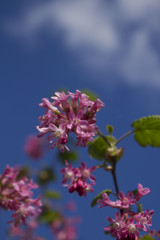 Arbuste en floraison au printemps avec ciel bleu et nuage