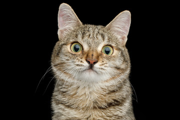 Portrait of Unusual Cat with wide nose, Looking Curious on Isolated Black background, front view