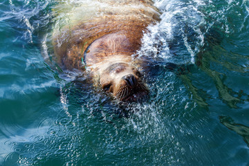 Steller sea lion in the water of Avacha Bay in Kamchatka.