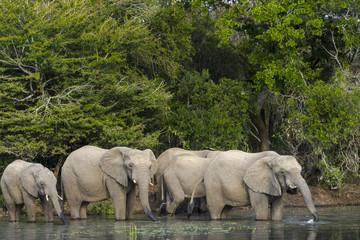 African bush elephant or African elephant (Loxodonta africana) drinking. KwaZulu Natal. South Africa