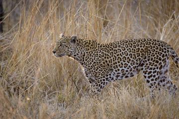 Leopard (Panthera pardus) female. Mpumlanga. South Africa