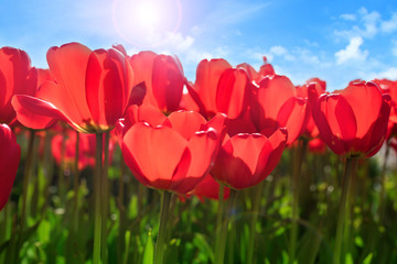 Red tulips in spring sun