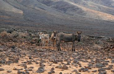 Donkeys, Cofete, Fuerteventura, Canary Islands, Spain
