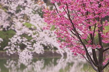二種類の桜