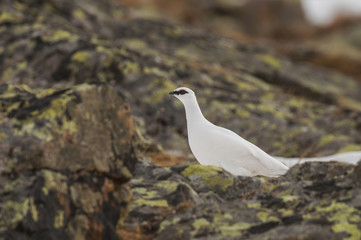 White rock ptarmigan perching on rock