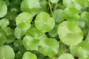 Water pennywort plant, green leave plants look so fresh for background.