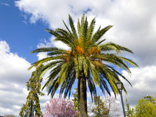 A palm tree on an urban public garden on Hervas, Spain