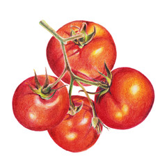 Tomatoes, watercolor painting. Hand drawn sketch. Illustration in the style of realism isolated on white background closeup handmade. The technique of watercolor pencil. Botanical.