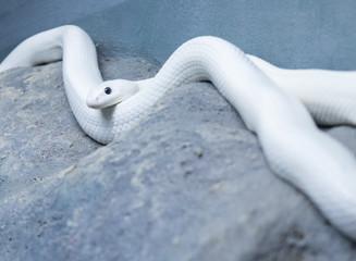 White Texas rat snake lying in the cabinet.