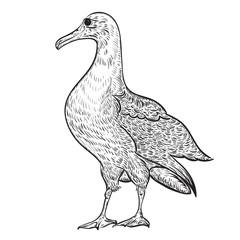 Albatross. Vintage vector illustration in sketch style