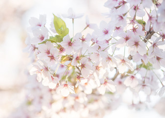 Group of blooming pink and white cherry blossom on a soft white background on a sunny day