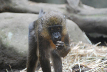 Young Mandrill Monkey Snacking on Food