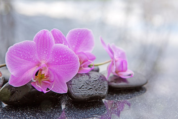 Pink orchid and black stones close up.