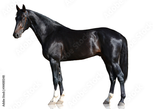 The black sport horse standing isolated on white background. side view