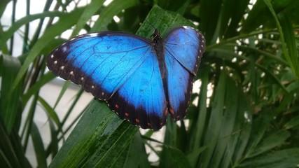 farfalla con ali blu sulle foglie