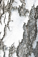 Birch crust background