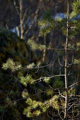 Молодая сосна в лесу