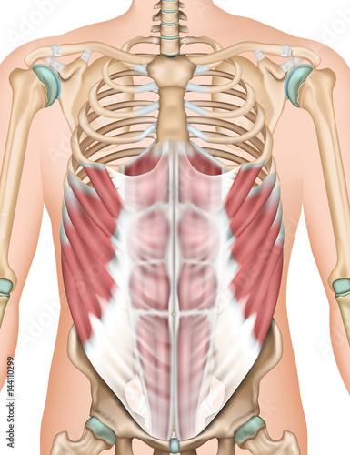 Musculus obliquus externus abdominis, 3d vector illustration ...