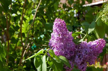 A beautiful bunch of lilac closeup
