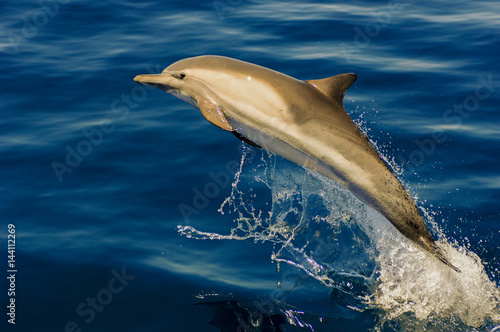 Common Dolphin jumps off Southern California