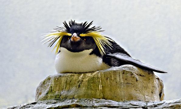 breeding rockhopper penguin