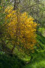 spring yellow blossom on green in south germany