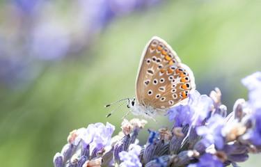Farfalla appoggiata ad un fiore di Lavanda