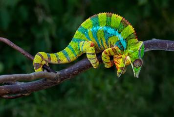 Angry Panther chameleon Furcifer pardalis Ambilobe