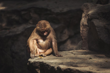 One baboon sitting on a rock