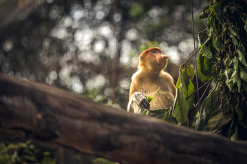 One Proboscis monkey on a tree