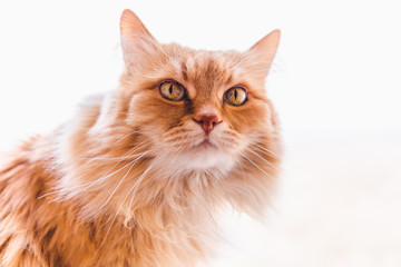 Red fluffy cat looks with interest