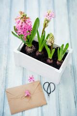 Beautiful pink hyacinth