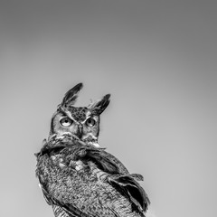 Great Horned Owl Looking Backwards in the Wind - B&W