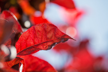 Red leaf with sunlight.
