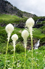 Beargrass blooming on a green meadow in Glacier National Park, USA