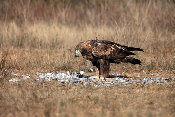 The golden eagle (Aquila chrysaetos) feeding on prey - pigeon