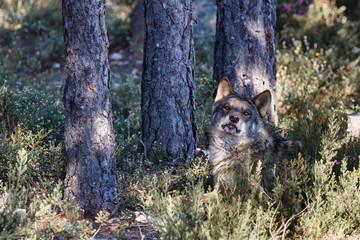 Lobo Ibérico. Canis lupus signatus.