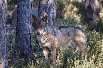 Canis lupus signatus. Lobo Ibérico macho.