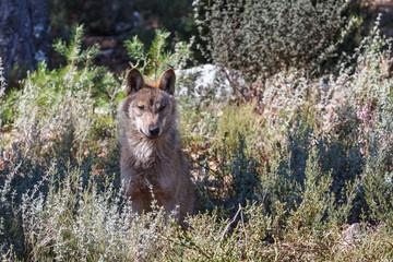 Joven macho de Lobo Ibérico, sentado. Canis lupus signatus.