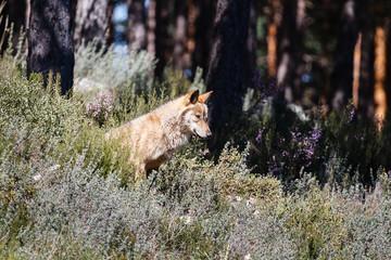 Joven macho de Lobo Ibérico, sentado y observando. Canis lupus signatus.