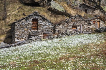 Blooming flowers and huts of Alpe dell' Oro. Alpe dell' Oro, Chiareggio, Valmalenco, Valtellima, Italy.