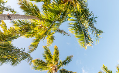 Beautiful palms, skyward view. Vacation and tropical concept