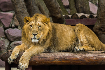 The Asiatic lion rests and looks forward.
